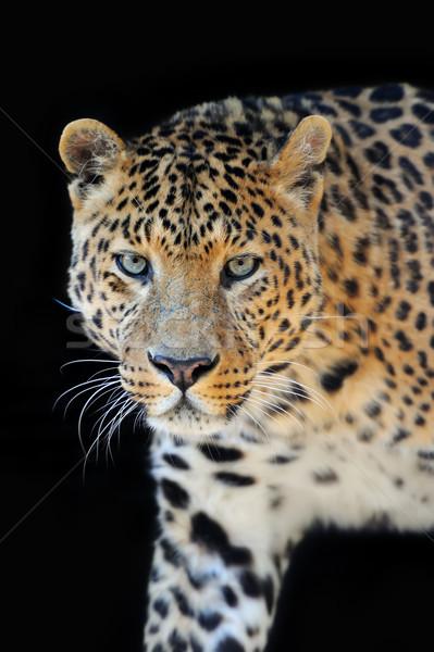 Leopard portrait on dark background Stock photo © byrdyak
