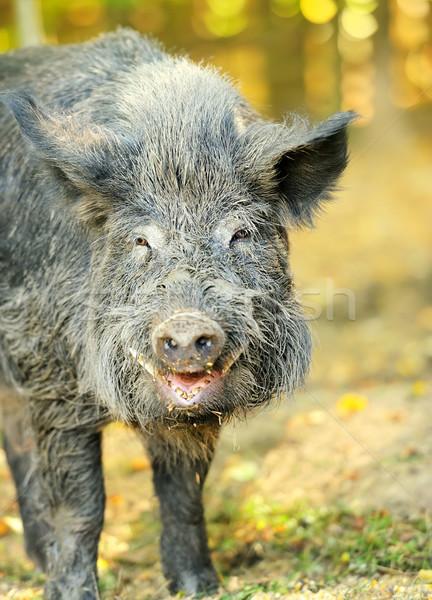 Wild mannetjesvarken najaar bos gezicht licht Stockfoto © byrdyak
