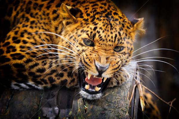 Leopardo zangado cara gato África Foto stock © byrdyak