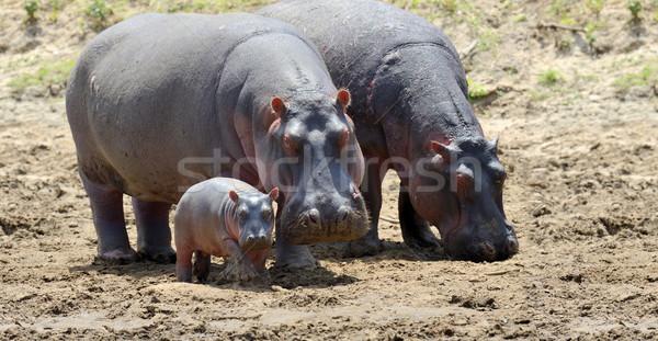 Hippo family. Kenya, Africa Stock photo © byrdyak