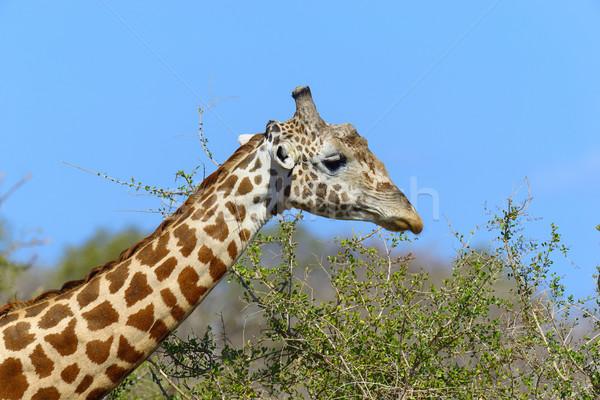 Girafe parc Kenya Afrique oeil visage Photo stock © byrdyak