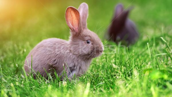 кролик трава мало зеленая трава лет день Сток-фото © byrdyak