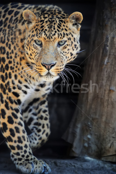Leopard portrait on dark background Stock photo © byrdyak