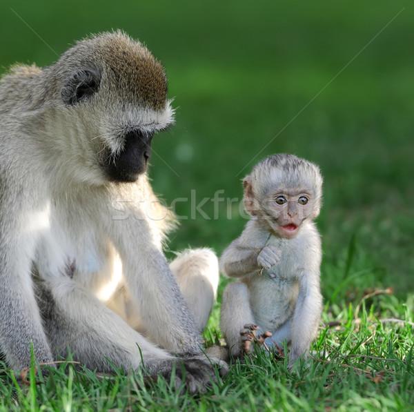 обезьяны три Обезьяны парка дерево лице Сток-фото © byrdyak
