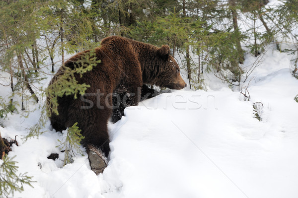 несут зима лес большой Бурый медведь дерево Сток-фото © byrdyak