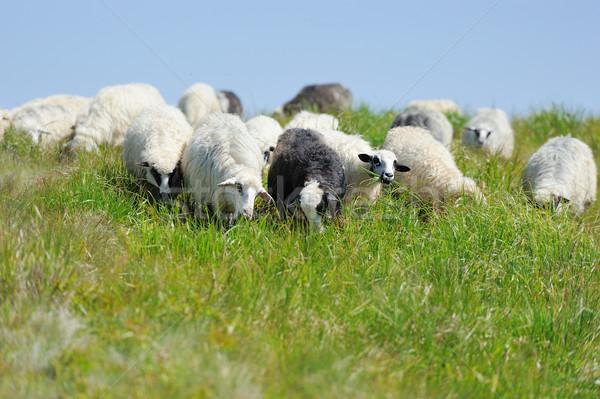 овец луговой гор лет пейзаж весны Сток-фото © byrdyak