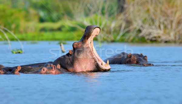 Ippopotamo famiglia ippopotamo acqua Kenia africa Foto d'archivio © byrdyak