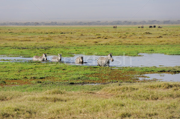 シマウマ アフリカ 公園 ケニア 草 馬 ストックフォト © byrdyak