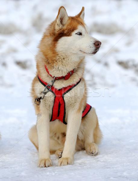 Husky hond gezicht ogen winter wolf Stockfoto © byrdyak