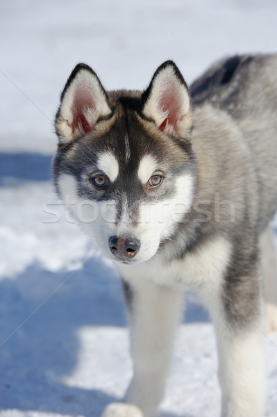 Siberian husky dog Stock photo © byrdyak