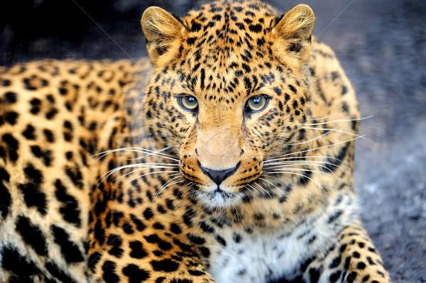 Leopar öfkeli siyah yüz Afrika Stok fotoğraf © byrdyak