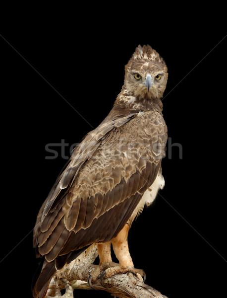 Tawny eagle on dark background Stock photo © byrdyak