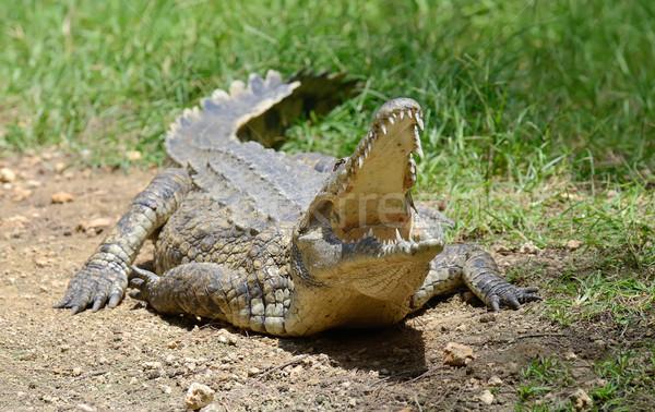 Csoport krokodil folyó park Afrika víz Stock fotó © byrdyak