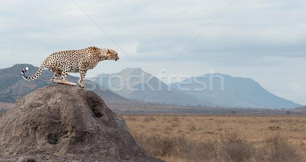 Stock fotó: Gepárd · vad · afrikai · gyönyörű · emlős · állat