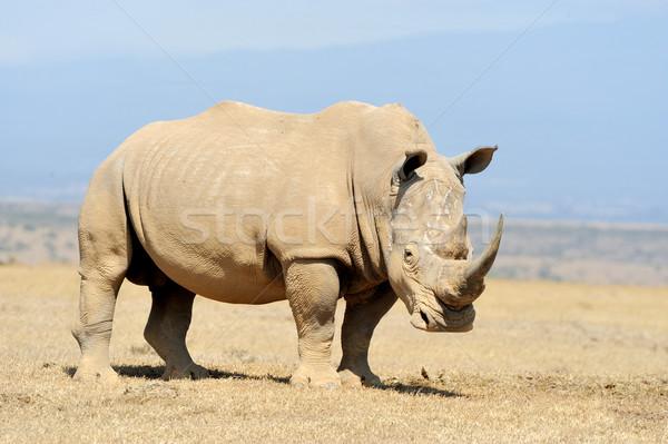Rinoceronte África blanco parque Kenia bebé Foto stock © byrdyak