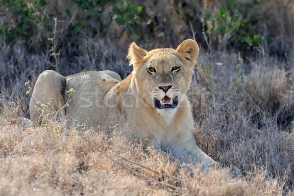 ライオン 公園 ケニア アフリカ クローズアップ 猫 ストックフォト © byrdyak