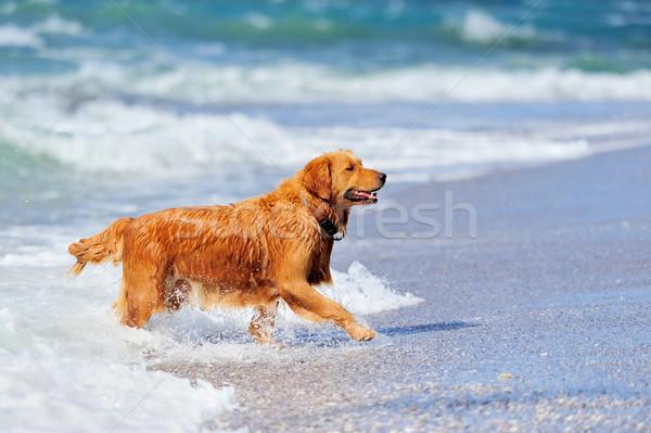 Jonge golden retriever lopen strand hond natuur Stockfoto © byrdyak