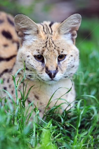 Serval cat (Felis serval) Stock photo © byrdyak