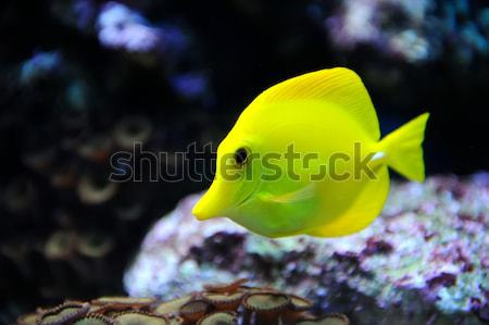 Tropical yellow tang on a coral reef Stock photo © byrdyak