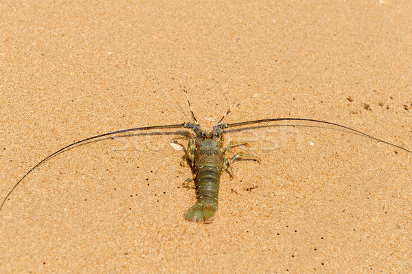 Aragosta Ocean spiaggia Sri Lanka isola acqua Foto d'archivio © byrdyak