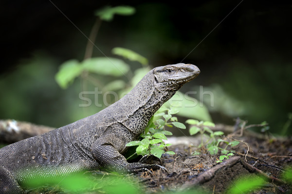 Monitor Lizard Stock photo © byrdyak