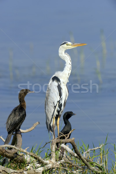 Gray heron Stock photo © byrdyak