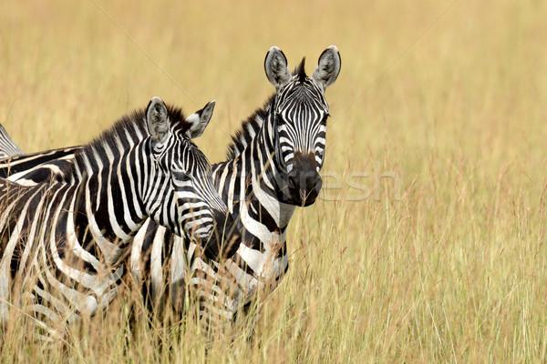 зебры Африка парка Кения трава лошади Сток-фото © byrdyak
