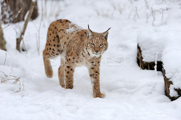Lynx in winter Stock photo © byrdyak