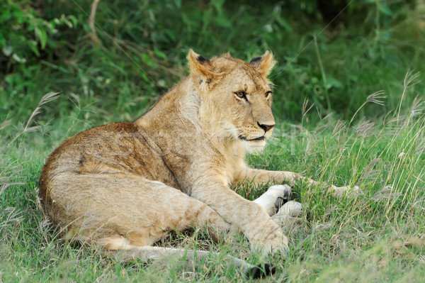 Lew trawy Kenia parku twarz charakter Zdjęcia stock © byrdyak