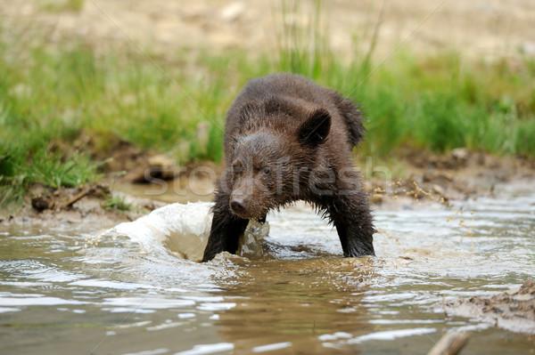 Barnamedve medvebocs tó család baba hal Stock fotó © byrdyak