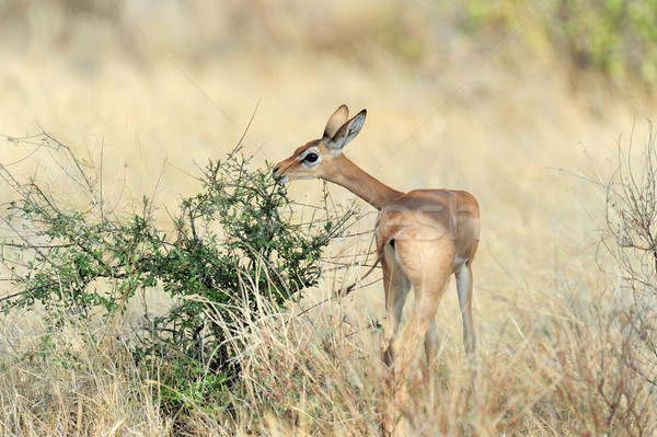 Parque Kenia hierba ojos retrato Foto stock © byrdyak