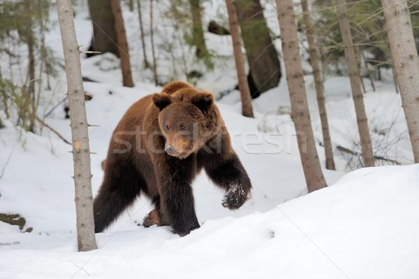 Bear in winter Stock photo © byrdyak