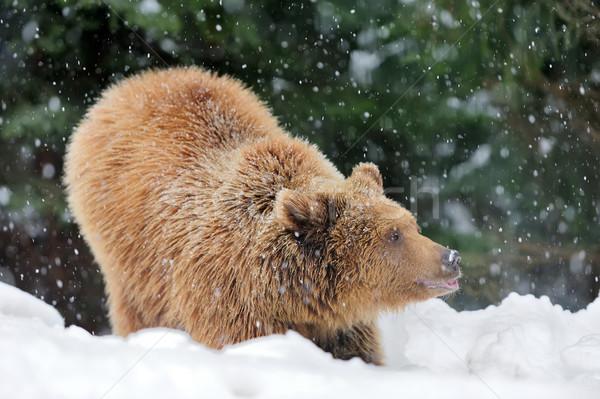 Bear Stock photo © byrdyak