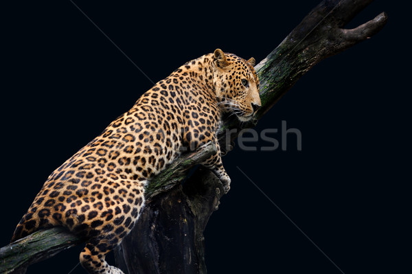 Leopard Isolated on black background Stock photo © byrdyak