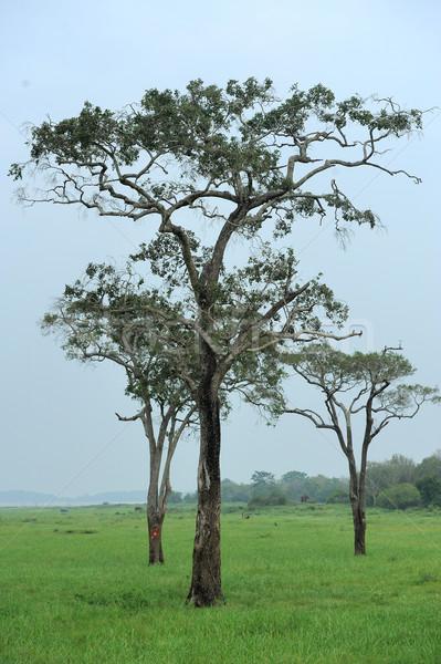 Tres alto árboles parque Sri Lanka cielo Foto stock © byrdyak