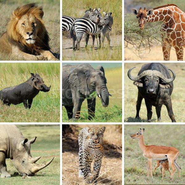 African animal collage Stock photo © byrdyak