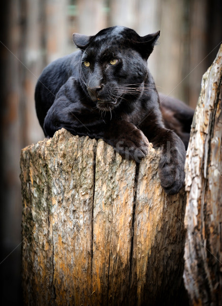 Black leopard Stock photo © byrdyak