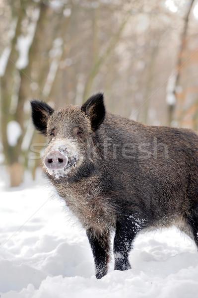 Wild boar Stock photo © byrdyak