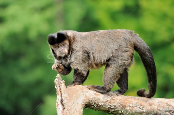 Scimmia foresta occhi verde nero divertente Foto d'archivio © byrdyak
