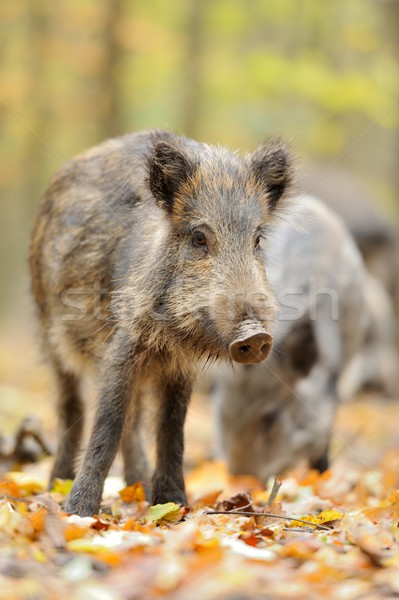 Male wild boar in autumn, in the forest Stock photo © byrdyak