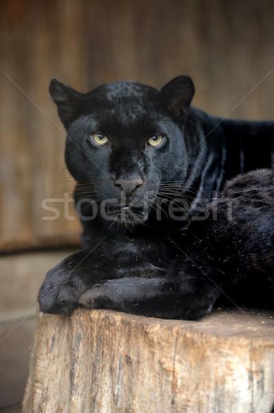 Portré leopárd fiatal sötét szemek természet Stock fotó © byrdyak