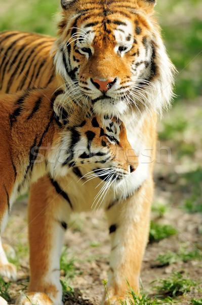 Tigre retrato tigres verano día árbol Foto stock © byrdyak