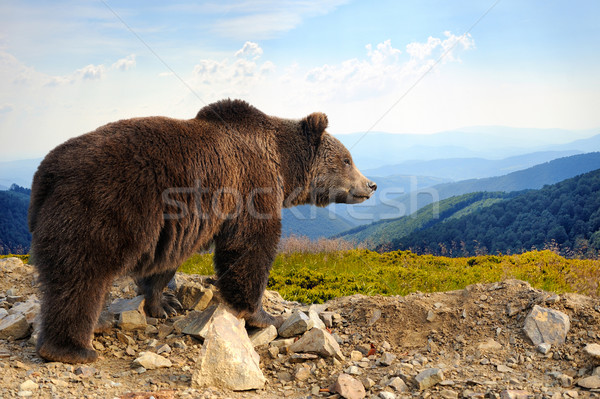 Brown bear Stock photo © byrdyak