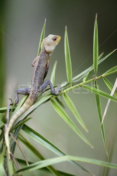 Kameleon Sri Lanka baby achtergrond kleur Stockfoto © byrdyak