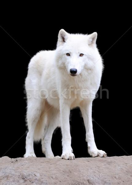 Fehér farkas sötét sarkköri szem hó Stock fotó © byrdyak