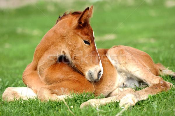 Colt on a meadow Stock photo © byrdyak