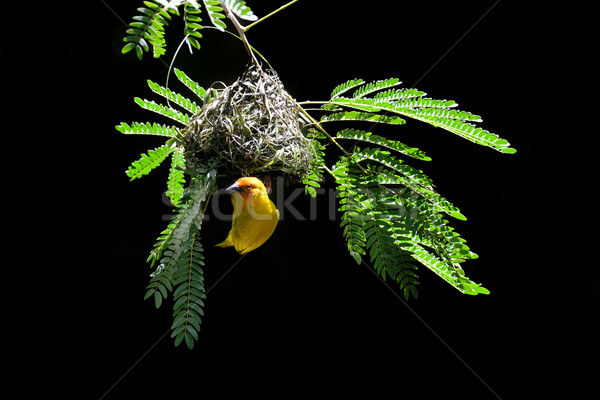 Southern masked weaver building nest Stock photo © byrdyak
