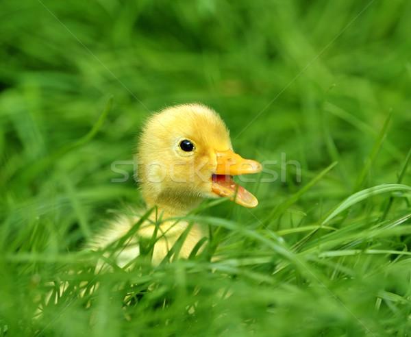 Sarı ördek yavrusu çim su bahar kuş Stok fotoğraf © byrdyak