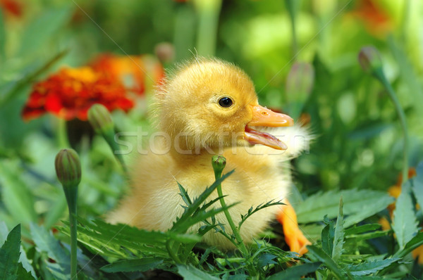 Yellow duckling Stock photo © byrdyak