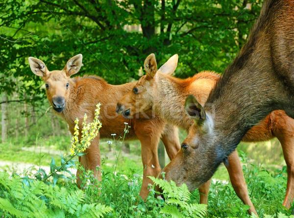Baby Moose erba primavera natura panorama Foto d'archivio © byrdyak